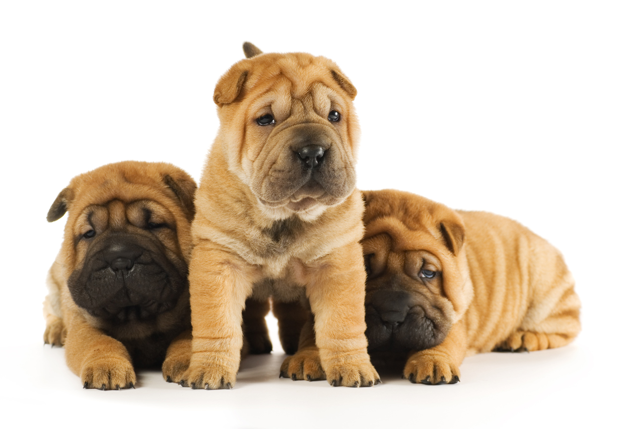Group of sharpei puppies isolated on white background (studio sh